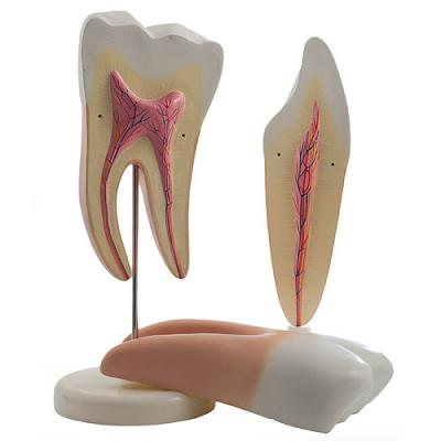 MODELE DE DENTS LOT DE 2